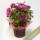 母の日花鉢クレマチス<レッドスター>